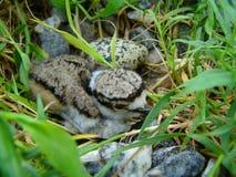 Baby killdeer Royalty-vrije Stock Foto's
