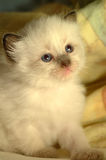 Baby Kitten 1. This ragdoll baby kitten is three weeks old. It got blue eyes, a creamy white, soft fur and brown ears Stock Images