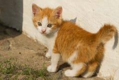 Baby kitten. Beautiful red kitten of house Stock Image