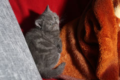 Baby kitten in a blanket Stock Photos