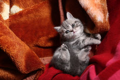 Baby kitten in a blanket Royalty Free Stock Images