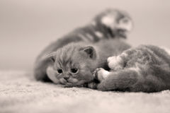 Baby kitten Royalty Free Stock Images