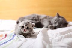 Baby kitten, first days of life. Lying in the bed with her mom stock image