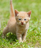 Baby kitten. On the green grass Royalty Free Stock Photo
