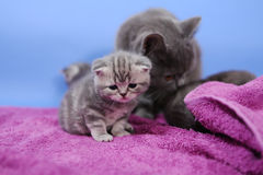Baby kitten with her mom Stock Photography