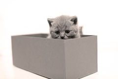 Baby kitten hiding in a cardboard box. British Shorthair kitten sitting in a cardboard gift box, unpacking Royalty Free Stock Photo
