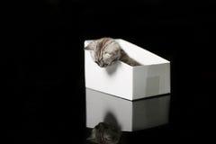 Baby kitten hiding in a cardboard box. British Shorthair kitten sitting in a cardboard gift box, unpacking Royalty Free Stock Photos