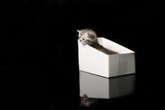 Baby kitten hiding in a cardboard box. British Shorthair kitten sitting in a cardboard gift box, unpacking Stock Photo