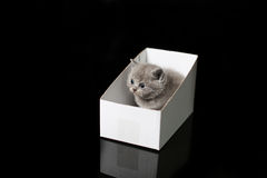 Baby kitten hiding in a cardboard box. British Shorthair kitten sitting in a cardboard gift box, unpacking Stock Photography