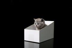 Baby kitten hiding in a cardboard box. British Shorthair kitten sitting in a cardboard gift box, unpacking Stock Image