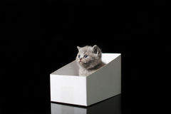 Baby kitten hiding in a cardboard box. British Shorthair kitten sitting in a cardboard gift box, unpacking Stock Images