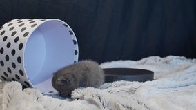Baby kitten hiding in a round box. British Shorthair kitten staying in a cardboard gift box, unpacking stock video footage