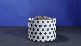 Baby kitten hiding in a round box. British Shorthair kitten staying in a cardboard gift box, unpacking stock video