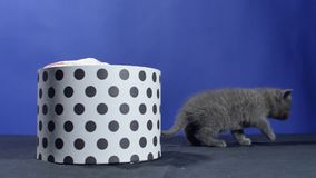 Baby kitten hiding in a round box. British Shorthair kitten staying in a cardboard gift box, unpacking stock footage