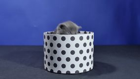 Baby kitten hiding in a round box stock footage