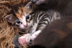 Baby Kitten Lying in a Basket With Siblings Royalty Free Stock Photos