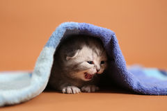 Baby kitten meaowing under a blue towel Stock Images