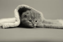 Baby kitten meaowing under a towel Stock Photography