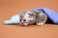 Baby kitten meaowing under a towel Royalty Free Stock Image