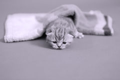 Baby kitten meaowing under a towel Royalty Free Stock Photos