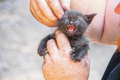Baby kitten with mouth open enjoying getting its ears rubbed by big burly workman with dirty freckled hands and red bushy beard - royalty free stock photo