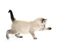 Baby kitten playing. Cute baby kitten playing on white background stock photography