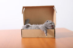 Baby kitten sleeping in a cardboard box. British Shorthair kitten sitting in a cardboard box, unpacking Royalty Free Stock Image