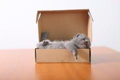 Baby kitten sleeping in a cardboard box Royalty Free Stock Image