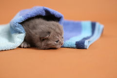 Baby kitten under a blue towel Royalty Free Stock Images