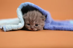 Baby kitten under a blue towel Stock Image