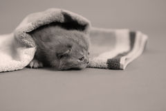 Baby kitten under a towel Stock Image