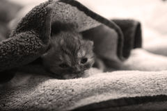 Baby kitten under a towel Stock Images