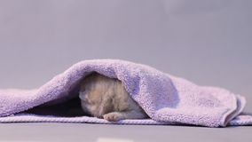 Baby kitten under a towel stock video footage