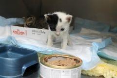 Baby kitten at the vet Royalty Free Stock Image