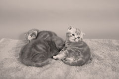 Baby kittens Royalty Free Stock Photography