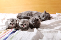 Baby kittens, first days of life. Lying in the bed with her mom Stock Photos