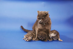 Baby kittens with her mom Royalty Free Stock Image