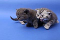Baby kittens playing. British Shorthair baby kittens playing, blue background stock photo