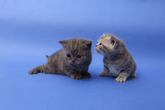 Baby kittens playing. British Shorthair baby kittens playing, blue background stock image