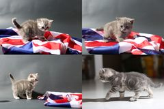 Baby kittens playing on the carpet and with Great Britain flag, multicam royalty free stock photo