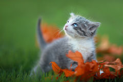 Baby Kittens Playing Outdoors in the Grass Royalty Free Stock Images