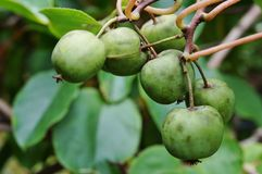 Baby kiwi fruit actinidia arguta Royalty Free Stock Image