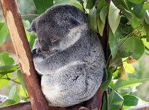 Baby koala. Sleeping in a tree branch royalty free stock photo