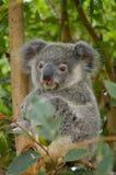 Baby Koala. A baby koala in a gum tree Royalty Free Stock Photos
