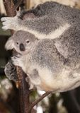 Baby Koala Bear. Peering out from its sleeping mother royalty free stock photo