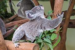Baby koala climbing a tree Stock Image
