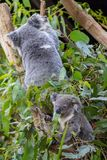 Baby koala eating gum leaves while its mother climbs branch stock image