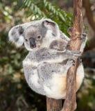 Baby koala Stock Photo