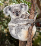 Baby koala Stock Photography