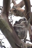 Baby koala hanging on to its mother on a tree in Victoria Royalty Free Stock Image